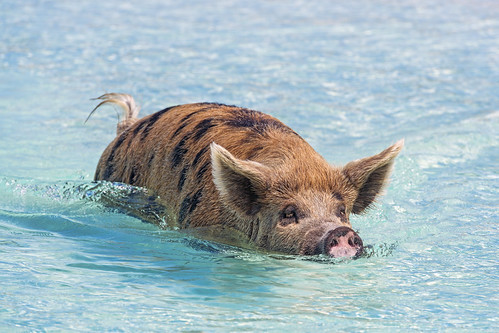 sow female swimming portrait pig exuma cay cute sea beach bahamas island vacation nikon d5