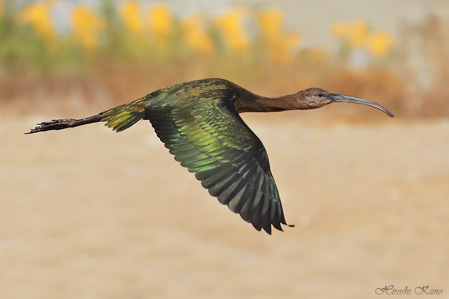 White-faced Ibis 050313-5