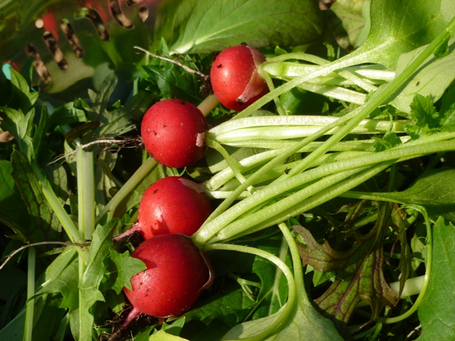 First of this year's produce- salad leaves and radishes both grown in the green house.