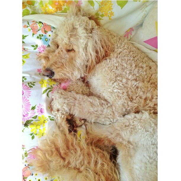 life is tiring when you're a goldendoodle #curledup #wishicouldjoinyouwinnie #goldendoodle