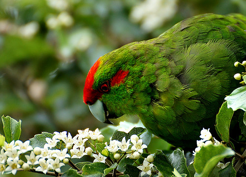 Kakariki, the red-crowned parakeet.(Cyanoramphus novaezelandiae)