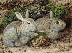 animal, hare, rabbit, domestic rabbit, fauna, rabits and hares, wildlife,