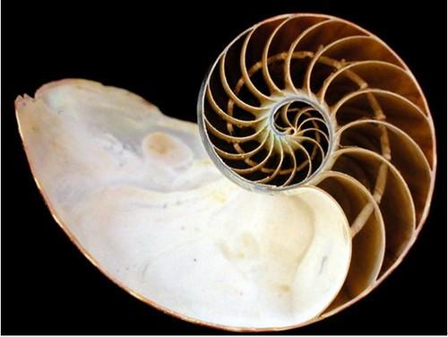 鸚鵡螺體殼的縱剖面,內部分隔成一個個氣室,隔板中央有小管子連通。圖片作者:李坤瑄。