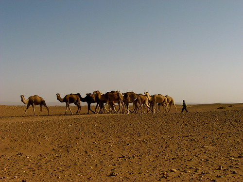 Morocco Pack of Camels