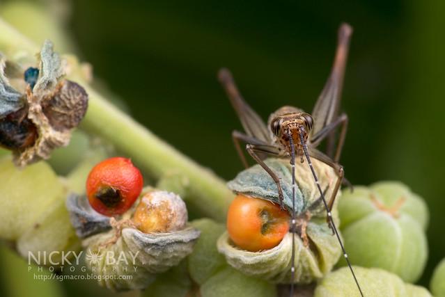 Cricket (Gryllidae) - DSC_3146