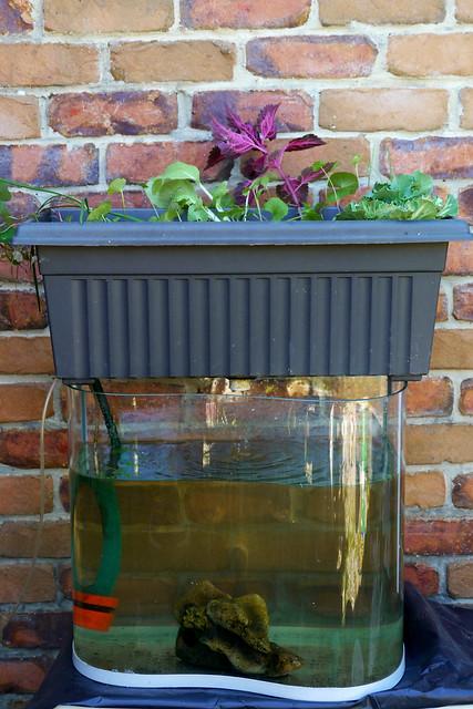 Small Aquarium Aquaponics Ingadi