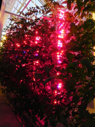 Banks of light-emitting diodes (LED) illuminate plants in greenhouses.  Purdue University researchers discovered that LEDs can provide a more beneficial light spectrum to greenhouse plants than conventional lighting while using 75 percent less electricity. Courtesy of Celina Gomez.