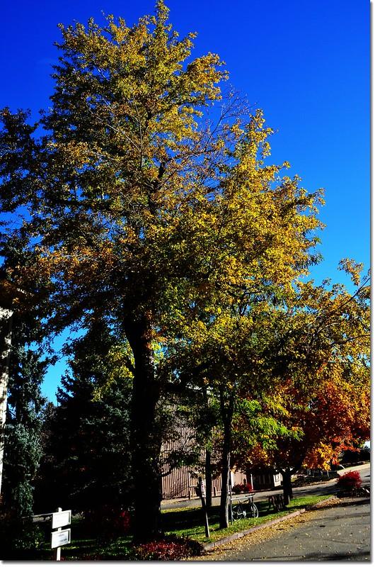 Silver maple in Fall, Chautauqua, Boulder 3