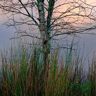 Silver Birch at Dawn. Tarn Hows