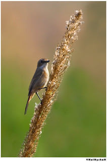 Grey-bushchat-female