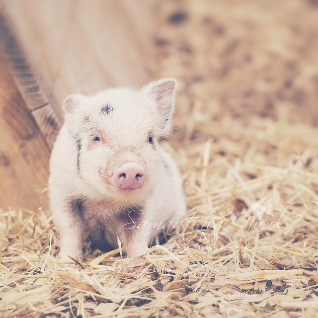 Micro Pig!
