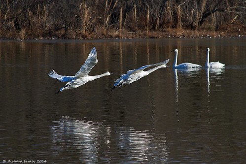winter water birds wildlife arkansas