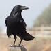 Common Raven - Photo (c) Ingrid Taylar, some rights reserved (CC BY)
