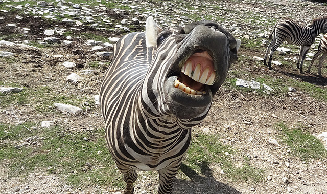 zebra-mouth