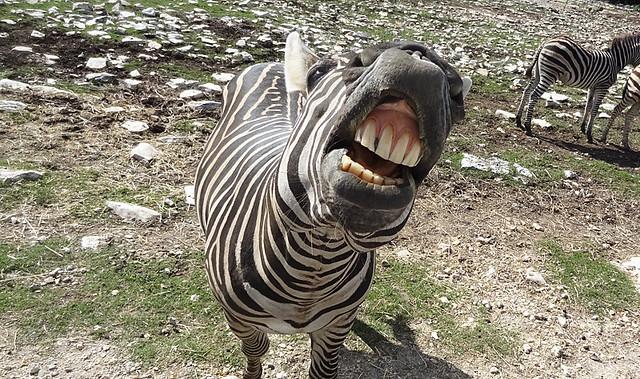 zebra-mouth drive thru zoo texas