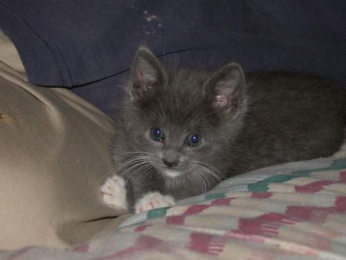 Mousenik as a kitten