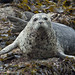 Harbor Seal on kelp covered rock in Sitka Sound 1CGS7954 by WildImages