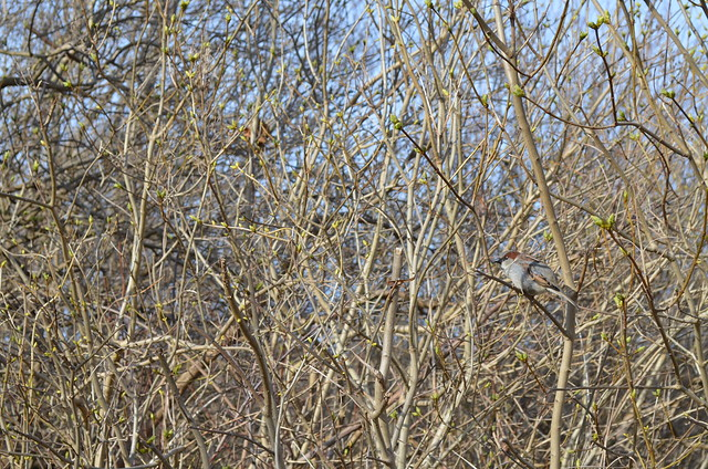 Ahlbeck beach Germany_bird in the branches