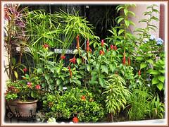 Jatropha integerrima (Spicy Jatropha) behind the Dwarf Red Ixora, in our garden border, Feb. 23 2014