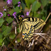 Papillon machaon (Le grand porte-queue) by raz1940 et Charlotte