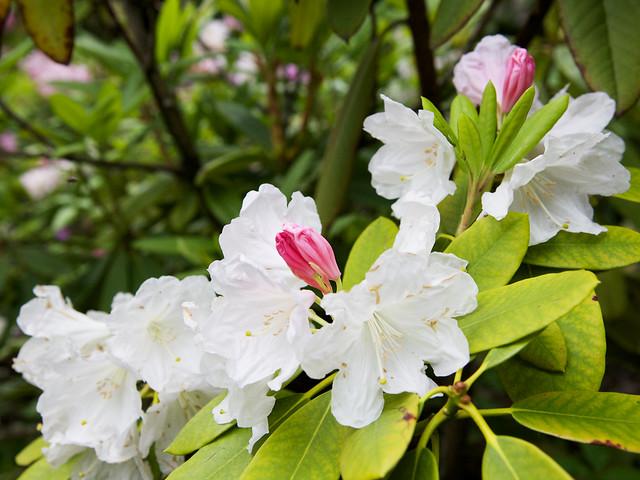 white rhododendron. Botanical garden. Lviv, Ukraine