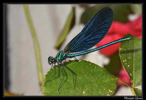 Caloptéryx vierge mâle (Calopteryx virgo)