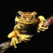 Littlejohn's Tree Frog (Litoria littlejohni) by Heleioporus