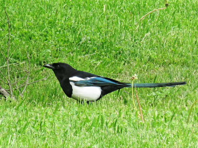 Black-billed Magpie 20150618