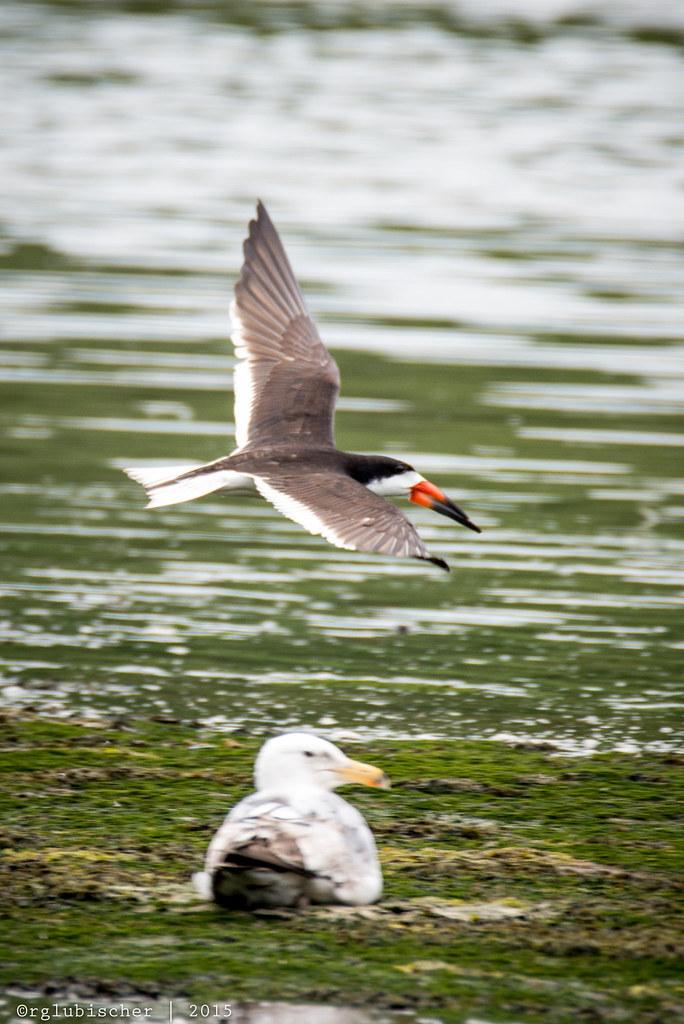 Birds of Shark River - Black Skimmer - 3   Black Skimmer The