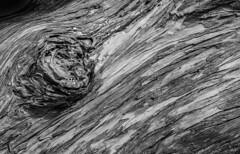Monterey Cypress _MG_6476