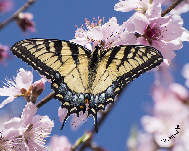 Eastern Swallowtail butterfly _3-8-17_004