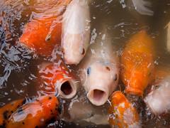 fish, fish, seafood, marine biology, koi,