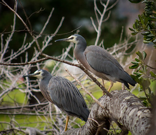 White-faced herons