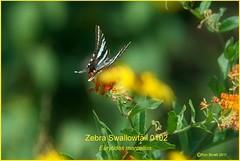 Zebra Swallowtail Mount Magazine Arkansas Butterfly photography by Ron Birrell; sw DSC_0102 900