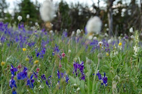 field montana wildflower geumtriflorum delphiniumbicolor plygonatumbistortoides