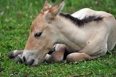 Przewalski's horse filly