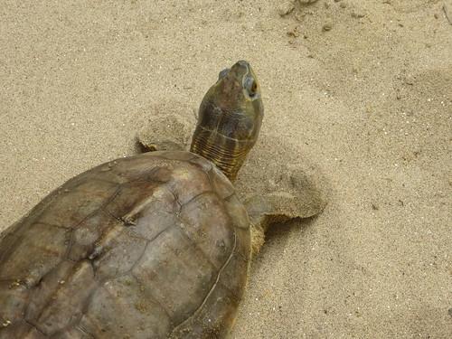 Kachua kachua, a hardshelled turtle