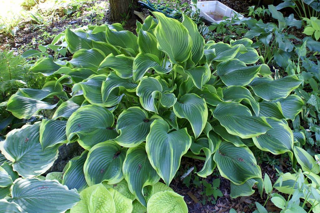 Hosta 'Abba Dabba Do' (2) (06 & 08)-001