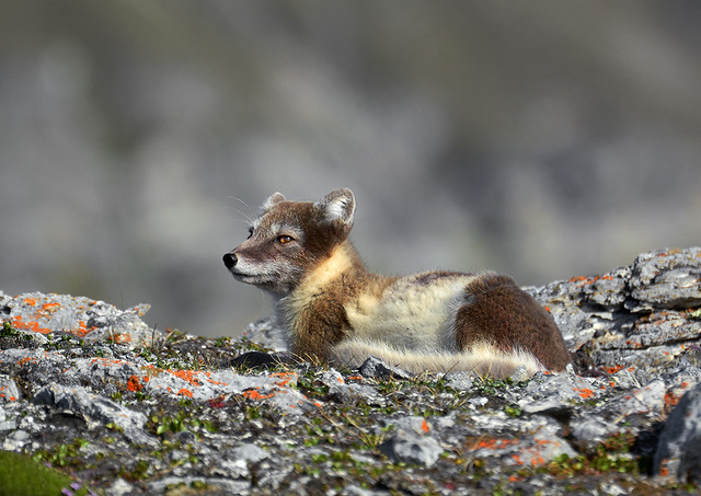 Arctic Fox no 2