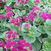 Small photo of Ageratum Artist Purple