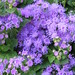 Small photo of Ageratum Artist Blue