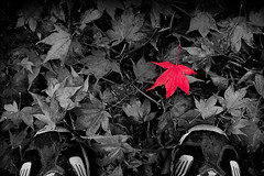 Single Red Leaf