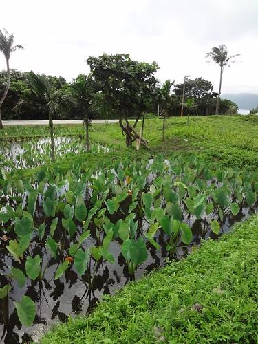 密生小毛蕨以抑制雜草入侵的田埂經營。(圖片攝影:鄭漢文)