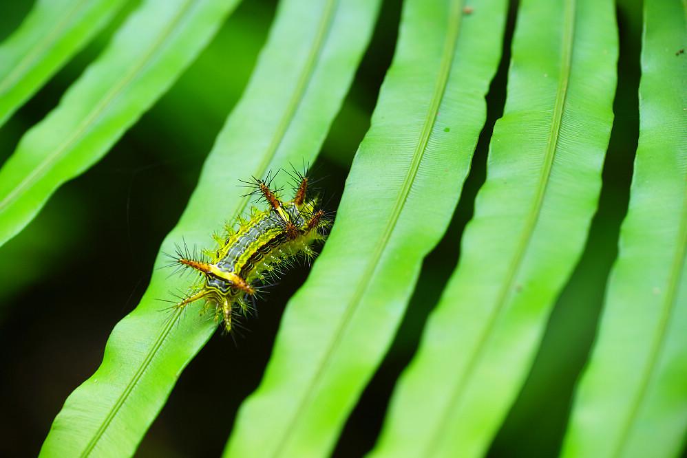 梨刺蛾-1