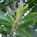 Small photo of Acacia mangium, the Brown Sandlewood