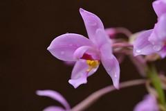 只產於台灣離島地區的紫苞舌蘭,在當地曾廣泛分布。(圖片來源:特有生物研究保育中心)