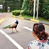 why did the peacock cross the road? why, to get away from pesky yogis who wanted to do a peacock pose next to it... #yogijokes #fail