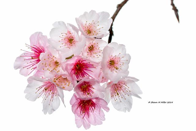 2014 Mt Yaedake Cherry Blossum Festival, Motobu -Okinawa