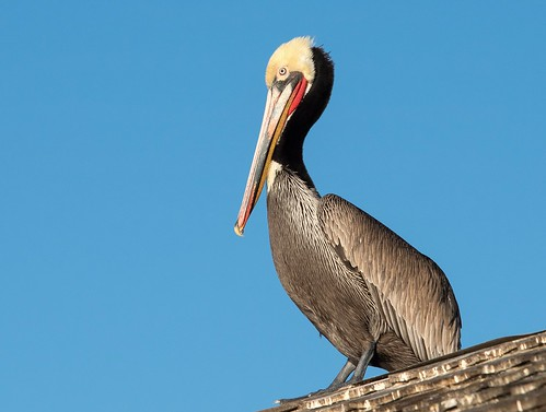 A Brown Pelican perched on weathered timber with a bright blue sky behind it at Redondo Pier - Southern California