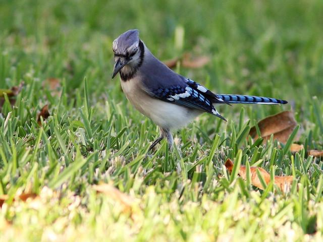 Blue Jay 2-20130211